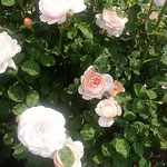 藍住町の薔薇園でクイーンスウェーデンなる薔薇を見ました。       ・クイーンスウェーデンなる薔薇小振りかな(和良)