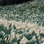 南あわじ市の灘黒岩水仙郷は野生の水仙が500万本も咲く群生地です。  ・水仙の崖の果てまで咲き満てる(和良)