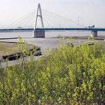 四国三郎橋北岸の吉野川の堤防に芥子菜の花が咲き競っていました。 ・土手の道芥子菜の花明かりかな(和良)