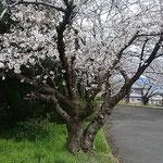 上板町で子供の頃に見た桜を見てきました。満開でした。  ・遠き日の瞼に浮かぶ桜かな(和良)