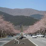 富士山の山麓にある冨士霊園の桜です。開花が遅く、まだ三分咲きでした。  ・深山には深山の色の桜かな(和良)