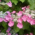 阿波史跡公園の紫陽花は一隅にあっても輝いていました。        ・一隅にありても主役濃紫陽花(和良)