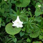 藍住町の自宅の坪庭の百合の花は白く輝いて見えました。 ・坪庭の真昼の闇の百合の花(和良)