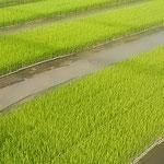 藍住町を散歩していますと最近では珍しい苗代を見ました。 ・農協の苗を買ふ世に苗代田(和良)