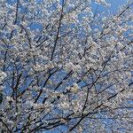 美濃田の淵がある吉野川オアシスサービスエリアでの見た桜です。    ・青空に白を散りばめ桜咲く(和良)