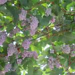 勝沼ではワイナリーと葡萄棚が町中にありました。                                  ・天に地に葡萄の棚の伸びる町(和良)