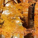 富士霊園の紅葉は日溜りにあり、輝いて見えました。          ・日溜りの紅葉照葉の明るさよ(和良)