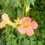 徳島市中央公園の凌霄花は下向きに咲き綺麗な色を見せていました。 ・のうぜんの下向きに咲く花の色(和良)