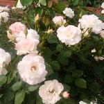 藍住町の薔薇祭で見た白い薔薇は清楚に見えました。            ・清楚なる佳人は寡黙白い薔薇(和良)