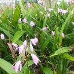 藍住町の公園の花壇に紫蘭が群れをなして咲いていました。  ・公園の花壇の紫蘭よく咲いて(和良)