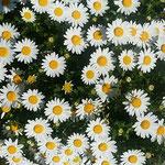 マーガレットも競い咲いていました。                 ・マーガレット犇めき咲ける白さかな(和良)