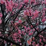 徳島市の文化の森で見た紅梅です。満開でした。            ・雨に日の紅梅どこか艶めきて(和良)