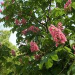 香川県高松市ではマロニエの街路樹に真っ赤な花が咲いていました。  ・マロニエの真っ赤な花の似会ふ街(和良)