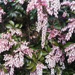 上野東照宮の牡丹園には馬酔木の花がたわわに咲いていました。     ・東京の寒波の緩み馬酔木咲く(和良)