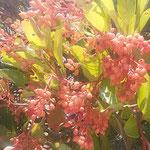 鳴門市のウチノ海総合公園の近くで珊瑚樹が実をつけていました。    ・色褪せし野に珊瑚樹の真っ赤な実(和良)