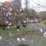 旧芝離宮恩賜庭園で見た冬桜です。満開ですが淋しい感じがしました。     ・精一杯咲きて控へ目冬桜(和良)