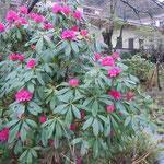 大正七年に建てられた椿山荘の庭に大きな石楠花が咲いていました。                  ・石楠花や大正ロマン残る庭(和良)
