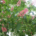 チェスキークルムロフのマロニエの花は葉蔭ほど美しかったです。    ・マロニエの葉蔭の花のまぶしさよ(和良)