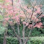 讃岐うどんの老舗「わら家」の庭の冬紅葉が綺麗でした。        ・日当たりて鮮やかなりし冬紅葉(和良)