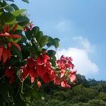 徳島市中央公園で見た梯梧です。沖縄でよく見た花です。  ・琉球は午睡の時刻花梯梧(和良)