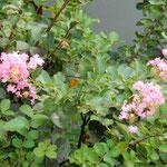 夏が終わり咲き始める百日紅は珍しいと思いました。   ・百日紅ようやく咲きし我が狭庭(和良)