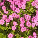 藍住町の中学校の校庭には桃色の花も犇くように咲いていました。  ・桃色の小さき秋の花も咲き(和良)