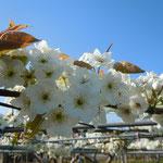 藍住町にも梨園があり、花が咲き満ちていました。                                    ・隣まで宅地の園の梨の花(和良)