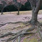 蜂須賀桜の花屑が助任川南岸の土手を赤く染めていました。 ・風ありて少し間のある落花かな(和良)
