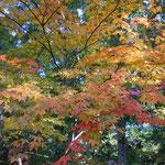 長野県小諸市の懐古園では紅葉まつりの最中でした。                     ・懐古園巡れば黄葉紅葉かな(和良)