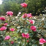 徳島城公園の薔薇園でもたくさんの薔薇が咲いていました。         ・雨後の薔薇凛と背筋の伸びてをり(和良)