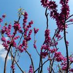 神宮寺の裏庭への曲がり口に花蘇枋が咲いていました。  ・花蘇枋咲きてここより裏庭に(和良)