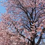 今年も大勢の人が集まり、蜂須賀桜のお花見会が開かれました。     ・青空に紅き蜂須賀桜かな(和良)