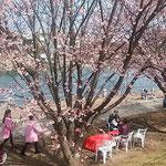 徳島市中央公園の助任川の岸辺にも蜂須賀桜が咲いていました。     ・早咲きの桜に人も小鳥も来(和良)