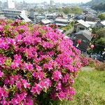 徳島市にある椎の宮の躑躅は昔から有名で雪洞が下げられていました。  ・鶯を飽きるほど聞く躑躅山(和良)
