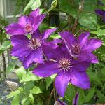 八王子で見た鉄線花です。梅雨の晴れ間の日差を浴びて色鮮やかでした。  ・日の透けて色増しにけり鉄線花(和良)
