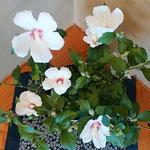 徳島市の鮎の料理屋の離れには木槿の鉢が置かれていました。 ・料理屋の離れ木槿の花香る(和良)