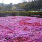 美馬市脇町の広棚の芝桜を見てきました。                                         ・太陽を浴びてまぶしき芝桜(和良)