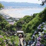 鎌倉で見た紫陽花です。群れ咲く向うに湘南の海が見えました。  ・湘南の海へしだるる濃紫陽花(和良)