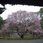 東京・駒込の六義園に入ると大きな垂れ桜が迎えてくれました。  ・黄昏れて色増す垂れ桜かな(和良)