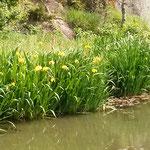 湯築城跡にある内堀の岸辺には菖蒲が咲き競っていました。       ・内堀の岸辺一面花菖蒲(和良)