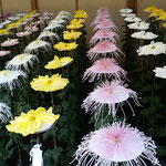 一文字菊と管物花壇の菊は奥に行くほど高くなっていました。      ・整列の美しさも見菊花展(和良)