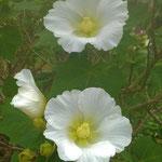 裏庭の芙蓉の花は見上げるほど大きな株に咲いていました。 ・咲き満てる芙蓉の株の大きさよ(和良)