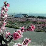 上板町の桃園です。蒲公英が咲き、蝶が舞っていました。 ・桃咲きて視野一杯の四月かな(和良)