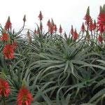 白浜海岸の三段壁という断崖の付近にはアロエの花が咲いていました。 ・冬ぬくし南紀白浜アロエ咲く (和良)
