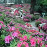 穀雨の日、東京・根津の躑躅祭りに行ってきました。 ・躑躅山ほんのり濡らす穀雨かな(和良)