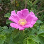 吉野川市藤井寺の門前の畑に浜茄子が咲き残っていました。  ・浜茄子の一輪なれど香を放ち(和良)