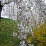 神山町では垂れ桜と連翹が咲き競っていました。                                     ・連翹と垂れ桜の咲ける里(和良)