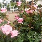 藍住町の薔薇祭で抜きん出て咲いていた薔薇がありました。         抜きん出し薔薇はクイーンエリザベス(和良)