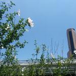 JR浜松駅の駅前で見た木槿の花です。青空へ高々と咲いていました。  ・駅頭に木槿高々花つけて(和良)