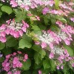 阿波史跡公園の菖蒲園では紫陽花が花を一杯つけていました。      ・雨来さうなる日の色よ濃紫陽花(和良)